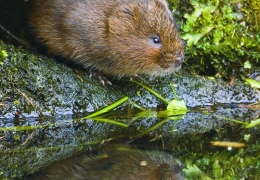 project_water_vole_conservation_01.jpg