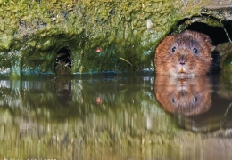 project_water_vole_conservation_02.jpg